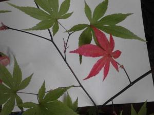 Japanese Maple Copyright Melanie Arrowood Wilcox